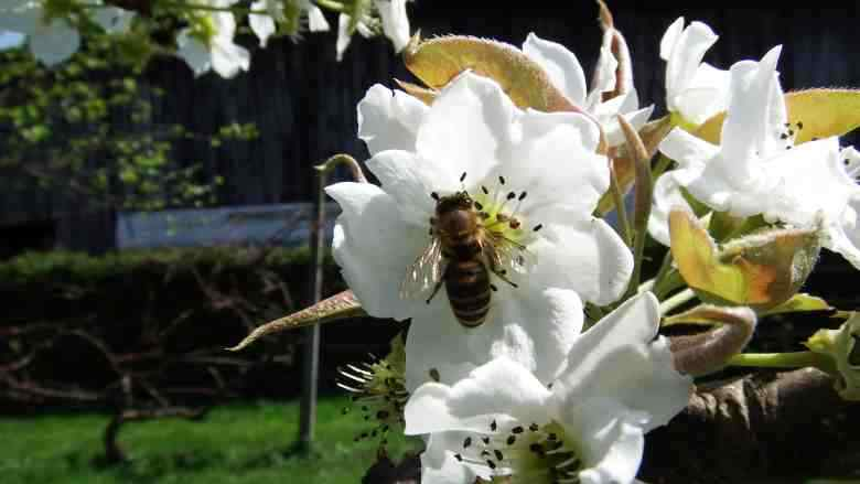 Propolis The Healing Gift from the Bees 2